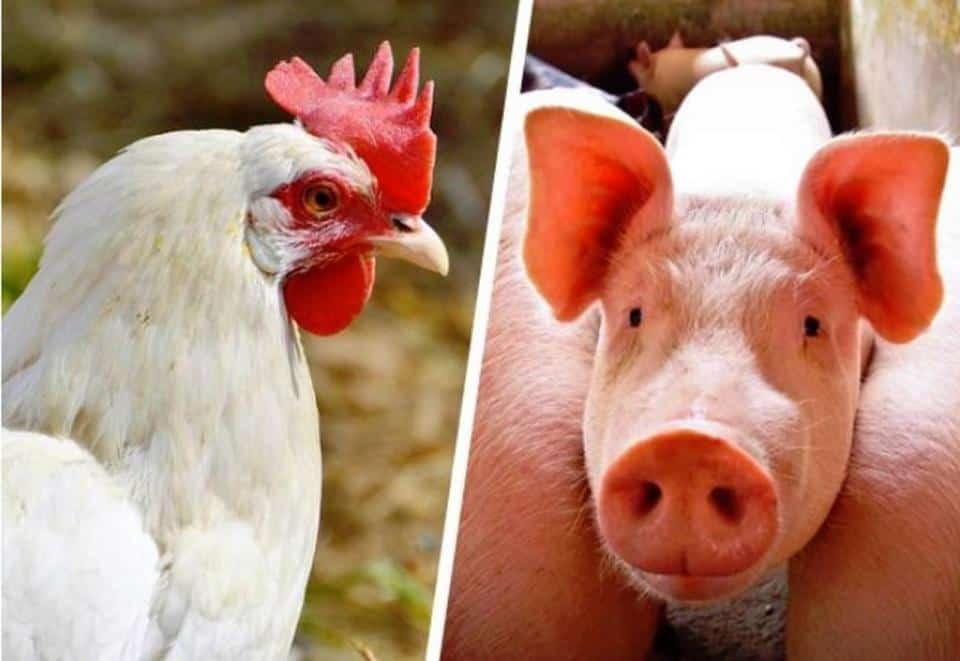 Fim do churrasco? Preço do frango e porco também sobem