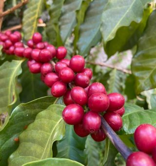 Suco de laranja e café podem ser extintos com seca e baixa na produção do Brasil